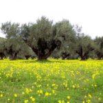 Amaroni - ulivo